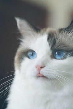 Here Is Long List Of Amazingly Beautiful Cat Breeds In! here is a … – cat breeds I Love Cats, Crazy Cats, Cool Cats, Cute Kittens, Most Beautiful Cat Breeds, Beautiful Cats, Beautiful Pictures, Cute Baby Animals, Funny Animals