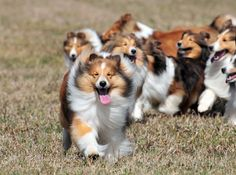 sheltie pups....grown up with them and will probably grow old with them!