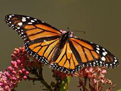 A Little Piece of Me: Monarch Butterfly - Wings Wide Open