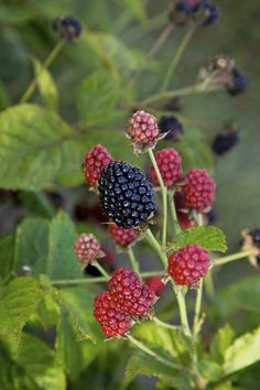 Grow your own blackberries this year with Baby Cakes® blackberry plant! Baby Cakes® is a small, thornless blackberry perfect for patio pots. Thornless Blackberries, Growing Blackberries, Blackberry Plants, Blackberry Bush, Dwarf Plants, Planting Shrubs, Garden Plants, Fruit Garden, Edible Garden