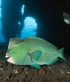 Aside from their beak-like teeth, the humphead parrotfish also have a set of teeth at the back of their throat to  grind food.