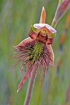 Calochilus paludosus - Strap Beard Orchid | Flickr - Photo Sharing!