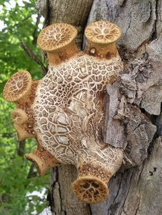 Dryads Saddle by Andrew Harris - Nature Up Close Mushrooms & Fungi