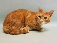 **TO BE DESTROYED 08/17/16** MAXX IS A MARVELOUS KITTY!! SAVE HIM TONIGHT! Maxx is an older gent who was dumped at ACC for the lame