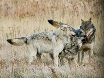Tell Congress: Protect Wildlife – Not Corporate Interests and Polluters  Wolves Playing, Photo Contest FY13, (c) Deb and Jim Chagares