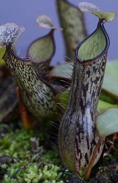 Nepenthes adnata is a tropical pitcher plant endemic to Sumatra where it grows on mossy sandstone cliff faces above the Tjampo River.    Insects seeking nectar from glands below the pitcher's rim lose their footing and fall into a pool of acid and digestive enzymes in the bottom of the pitcher. Most struggle until they drown. A few manage to swim to the sides and succeed in scaling the wall into a zone of digestive glands, only to become hopelessly mired in sticky juice.