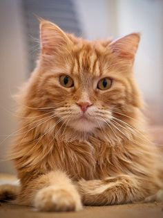 What's up? - Maine Coon