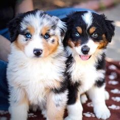 When something happens that just changes everything? - JESSİCA - Australian Shepherds And Kids – - Super Cute Puppies, Cute Baby Dogs, Cute Little Puppies, Cute Dogs And Puppies, Cute Little Animals, Adorable Dogs, Doggies, Baby Animals Pictures, Cute Animal Pictures