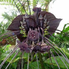 10 Tacca Integrifolia Seeds Giant Bat Plant-Exotic par FlowersSeeds