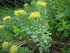 Roseroot Stonecrop (rhodiola rosea): Rhodiola rosea (commonly golden root, rose root, roseroot, western roseroot, Aaron's rod, Arctic root, king's crown, lignum rhodium, orpin rose) is a perennial flowering plant in the family Crassulaceae. It grows in cold regions of the world, including much of the Arctic, the mountains of Central Asia, scattered in eastern North America from Baffin Island to the mountains of North Carolina, and mountainous parts of Europe, such as the Alps, Pyrenees, and…