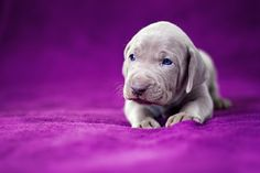 Weimaraner puppy...