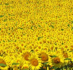 beautiful rural Southwest Missouri sunflower fields