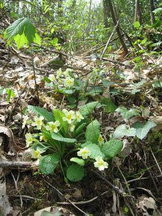 woodland primroses