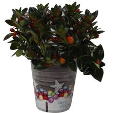 Luxury Christmas Foliage Plant Gifts -Tropical Potted plant with Christmas Pot Cover -Delivery in first week of December or Before - A stunning gift that will last for more than just Christmas - Ideal alternative to Christmas Cards - Create the perfect gift combination - Variety of Christmas Pot Cover options - Gift wrap available - Variegated Screw Pine, Nermanthus USA or Rodicans, Himalaya Kleinia (USA mix Merry Christmas)