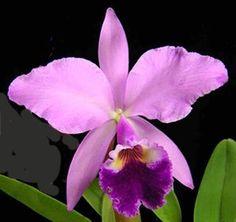 Cattleya - Orquídeas - Técnicas de cultivo y principales especies orquídea Cattleya