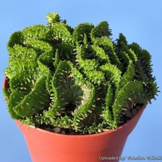 Euphorbia flanaganii f. cristata (brach cristation)