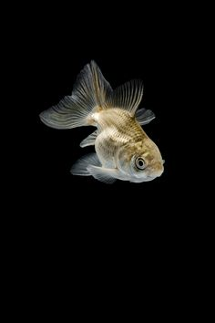 Tozokin on Behance Nature Aquarium, Aquarium Fish, Aquarium Aquascape, Fish Wallpaper, Animal Wallpaper, Comet Goldfish, Pet Fish, Beautiful Nature Wallpaper, Underwater Life
