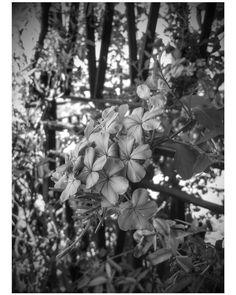 Un giorno nel tempo di fronte allo spettacolo della natura... #fiore #fiori #flower #flowers #igers #livorno #toscana #tuscanypeople #tuscany #b&n #bn #biancoenero #fotografia #fotografi_italiani #myshot #montenero #garden #giardino #instalike #instalife #l4l #likeforlike #volgolivorno #volgotoscana #volgoitalia #igerslivorno #igerstoscana #igersitalia