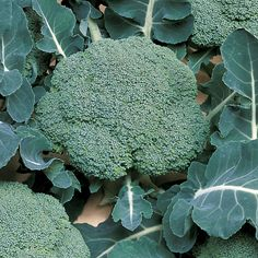 Know Before You Grow: Broccoli and Cauliflower