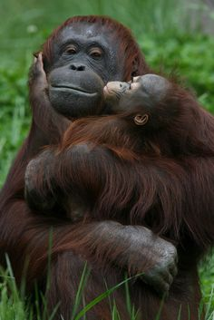 Orangutans, mother and baby