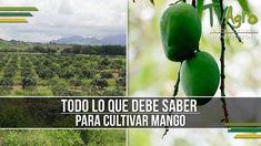 Todo lo que debe Saber para Cultivar Mango - TvAgro por Juan Gonzalo Angel