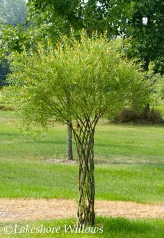 woven willow tree.  I think I'd like two of these woven around the support posts of my lawn swing!