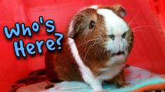 Foster Guinea Pigs Home For the Holidays! Pet Paws, Cool Names, Watch V, Scottie, Guinea Pigs, Carrot, The Fosters, Broccoli, Trust