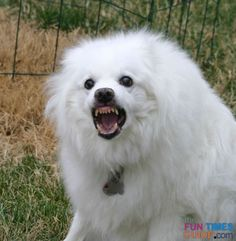 How to teach your dog to Show Teeth or Smile - a funny dog trick!