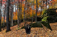 Autumn Forest of the Black Bear
