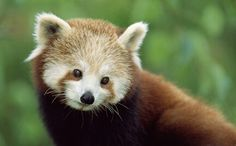 Red Panda, lives above 7000 feet, in the Himalayas,endangered, www.WWF.org