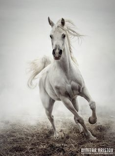 White Horse Running in Winter Mist photography featured equine photography animals Photo. White Horse Running in Winter Mist Pretty Horses, Beautiful Horses, Animals Beautiful, Cute Animals, Horse Photos, Horse Pictures, Equine Photography, Animal Photography, Winter Photography