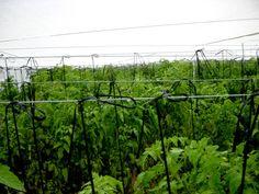 Imagen relacionada Vineyard, Herbs, Outdoor, Tomato Plants, Tomatoes, Outdoors, Herb, Outdoor Games