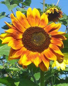 Orangene Sonnenblume mit Biene
