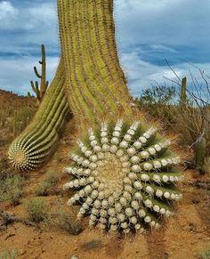 Saguaro National Park Cactus Arm