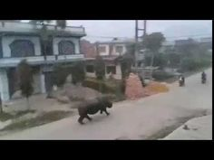 Giant Rhino Chases Motorcycles  (must watch)
