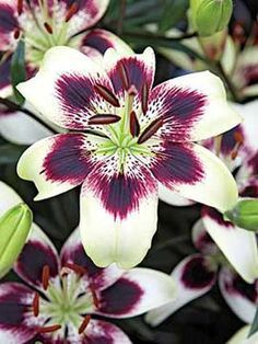 netty's pride lily tattoo - Google Search