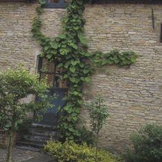 Aristoloche Sipho ou Macrophylla - Plantes et Jardins