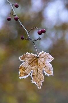 Autumn frost by Jacky Parker Photography - beautiful Autumn Day, Autumn Leaves, Early Autumn, Arte Floral, Winter Garden, Jack Frost, Fall Season, Belle Photo, Mother Nature