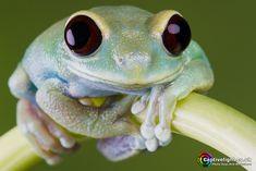 Ruby Eye Tree Frog - Leptopelis uluguruensis