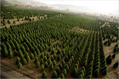 The land of the Christmas Trees - Willamette Valley