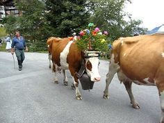 Swiss Cows with their Giant Bells Lead the Parade in Murren - Aug. 2011