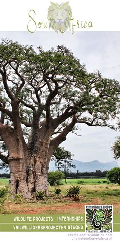 BAOBAB (Adansonia digitata) It has many names: monkey-bread tree, upside-down tree, bottle tree, baobab, tabaldi and boab, but I want to add something: só beautiful! Oh, forgot, ... and HUGE! 😁 Just like our projects!😊😊😊 #trees #volunteer #intern #volunteering #internship #southafrica #nature #wildlife