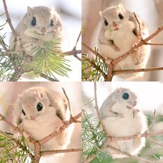 Ezo momonga, a type of flying squirrel in Hokkaido, Japan so freaking cute! Super Cute Animals, Cute Little Animals, Cute Funny Animals, Japanese Dwarf Flying Squirrel, Gato Grande, Cute Animal Pictures, Cute Creatures, Mythical Creatures, Stuffed Animals