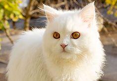 Kitten with fluffy white fur