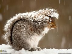 From National Geographic. A squirrel uses its tail to cover from the snow.
