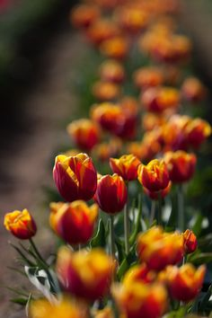 Tulips from the Wooden Shoe Tulip Festival in Woodburn, Oregon.