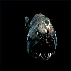 • Unidentified anglerfish (photograph by Claire Nouvian)
