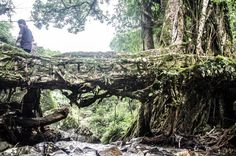 Centuries-old bridges grown from tangled roots.
