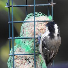 More camera playing a coal tit