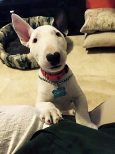 Such a perfect bullie nose. :) Coco, bull terrier, Costa Rica. Awww little darling... Want. <3
